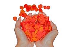 Mão que mantém a pétala de rosas isolada no fundo branco fotografia de stock royalty free