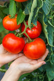 Mão que mostra o conjunto maduro do tomate fotos de stock