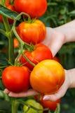Mão que mostra o conjunto maduro do tomate imagem de stock royalty free