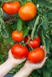 Mão que mostra o conjunto maduro do tomate fotos de stock royalty free