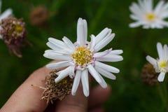 Mão que prende uma flor Imagens de Stock