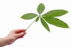 Mão que prende uma folha fresca Foto de Stock
