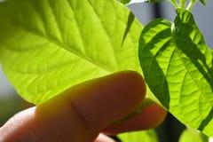 Mão que toca em uma planta do pimentão Imagens de Stock