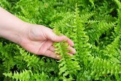 Mão que toma de samambaias de Tassle no jardim Foto de Stock Royalty Free