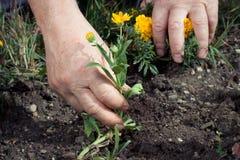 A mão retira ervas daninhas da colheita fotografia de stock royalty free