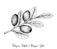 Mão tirada de frutos de Ebbingei do Elaeagnus no fundo branco Foto de Stock