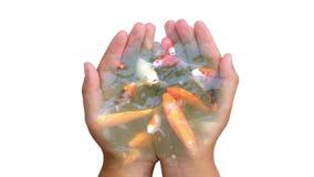 Mão transparente que guarda os peixes do koi video estoque