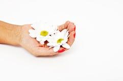 Mãos bonitas que guardaram uma camomila Fotos de Stock Royalty Free