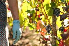 Mãos com as uvas de uma colheita do bracelete do cristão Foto de Stock