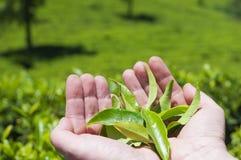 Mãos com folhas de chá Fotos de Stock Royalty Free