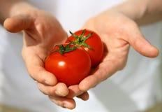 Mãos com os tomates recentemente colhidos Imagens de Stock Royalty Free