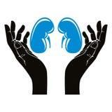 Mãos com símbolo humano do vetor dos rins Imagem de Stock Royalty Free