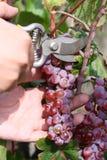 Mãos com tosquiadeiras e uva Foto de Stock Royalty Free