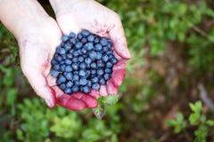 Mãos completamente das uvas-do-monte Fotografia de Stock