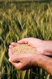 Mãos completamente de sementes do trigo imagem de stock