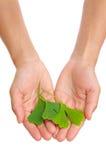 Mãos da folha do ginkgo da terra arrendada da mulher nova Fotografia de Stock