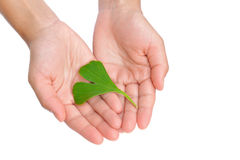 Mãos da folha do ginkgo da terra arrendada da mulher nova Fotos de Stock Royalty Free