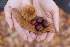 Mãos da menina que mostram uma folha e castanhas outono fotografia de stock