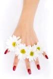 Mãos da mulher com camomiles Imagens de Stock Royalty Free