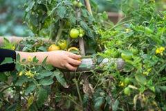 Mãos da mulher que escolhem tomates em um close up cultivado do campo da terra Foto de Stock