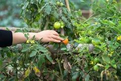 Mãos da mulher que escolhem tomates em um close up cultivado do campo da terra Fotos de Stock Royalty Free