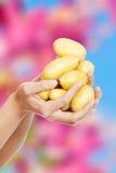 Mãos da mulher que guardam batatas Imagens de Stock