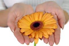 Mãos da mulher que prendem a flor alaranjada Fotos de Stock