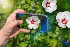 Mãos da mulher que tomam imagens das flores com telefone celular fotografia para o instagram imagem de stock