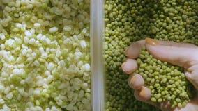 Mãos da mulher que tomam o punhado de mung dal ou brotos dourados do grama e os verdes na luz natural video estoque