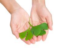 Mãos das folhas do ginkgo da terra arrendada da mulher nova Foto de Stock