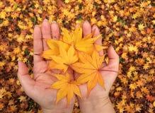 Mãos das mulheres com folhas de bordo amarelas Foto de Stock Royalty Free