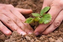 Mãos das mulheres que plantam a plântula da morango Fotografia de Stock Royalty Free