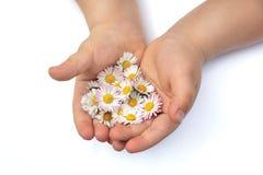 Mãos de Child´s com margarida Imagem de Stock