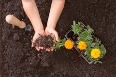 Mãos de Childs que aprendem plantar cravos-de-defunto coloridos Imagem de Stock