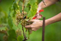 Mãos de um comerciante de vinhos fêmea que colhe as uvas brancas da videira fotografia de stock