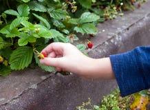 Mãos de um menino novo que escolhe o arbusto de morango suculento doce Fotografia de Stock