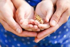 Mãos de uma matriz e de sua filha pequena que guardaram o trigo Imagens de Stock Royalty Free