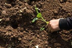 Mãos de uma mulher que planta o vegetal no jardim, movimento da plantação da mão Foto de Stock Royalty Free