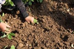 Mãos de uma mulher que planta o vegetal no jardim, movimento da plantação da mão Imagem de Stock
