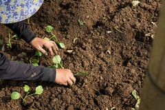 Mãos de uma mulher que planta o vegetal no jardim, movimento da plantação da mão Fotografia de Stock Royalty Free