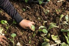 Mãos de uma mulher que planta o vegetal no jardim, movimento da plantação da mão Imagens de Stock Royalty Free