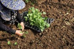 Mãos de uma mulher que planta o vegetal no jardim, movimento da plantação da mão Fotografia de Stock