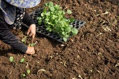Mãos de uma mulher que planta o vegetal no jardim, movimento da plantação da mão Foto de Stock