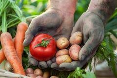 Mãos do fazendeiro com tomate e batata Imagens de Stock