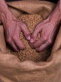 Mãos do homem forte do trigo da grão Fotos de Stock