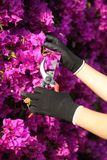Mãos do jardineiro com as flores de corte das luvas com secateurs Imagem de Stock Royalty Free