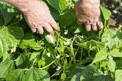 Mãos do jardineiro que mostram flores de Pea Beans Pod Plant verde imagens de stock