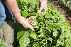 Mãos do jardineiro que mostram flores de Pea Beans Pod Plant verde fotografia de stock royalty free
