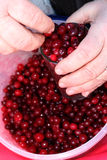 Airelas maduras vermelhas Foto de Stock Royalty Free
