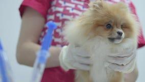 Mãos do veterinário irreconhecível no revestimento médico colorido que guarda o spitz pomeranian do cão macio pequeno no fundo de vídeos de arquivo